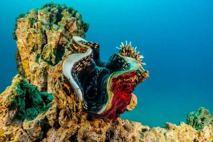 Giant Clam in the Red Sea - photo land