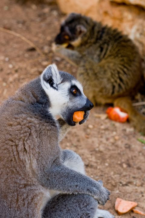 Lemurs of Madagascar, Ring Tailed - photo land