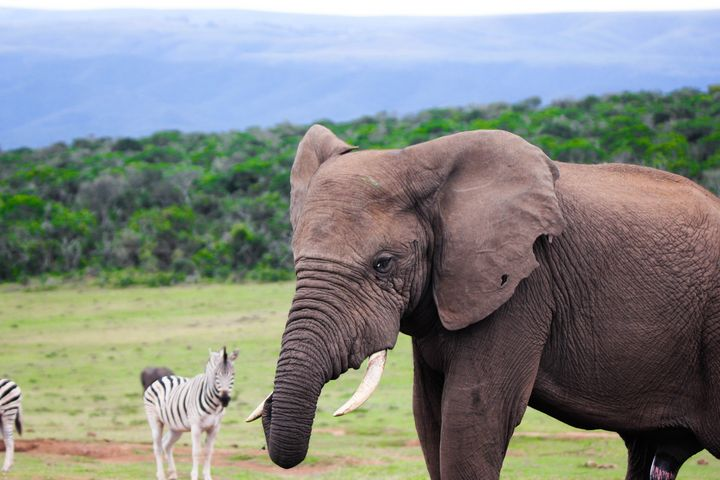 African Elephants in South Africa - photo land