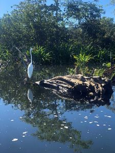 Nayarit Rainforest great egret bird