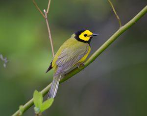 Hooded Warbler - Warblers