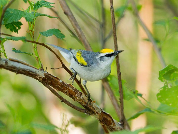 Brewster's Warbler - Warblers