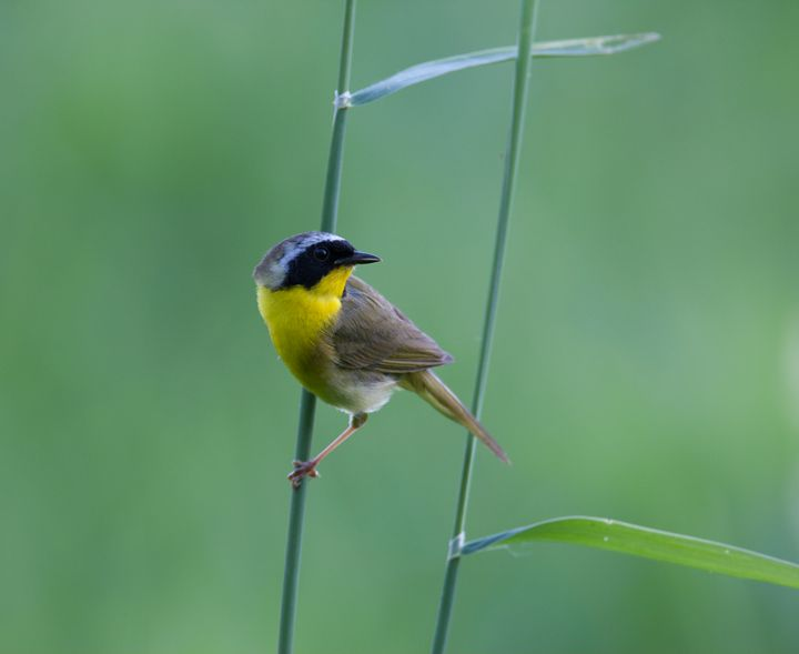 Common Yellow Throated Warbler - Warblers