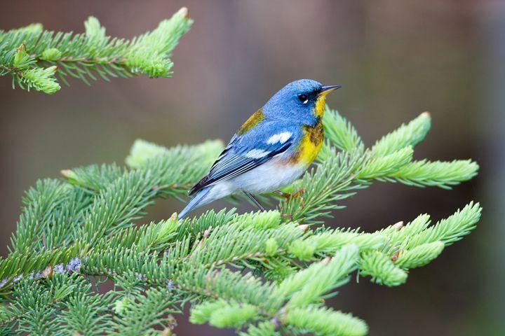 Northern Parula - Warblers