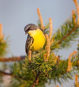 Kirtland's Warbler - Warblers