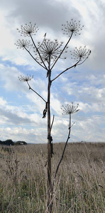 Dry inflorescences parsnip - Sergejus Lamanosovas - Severas
