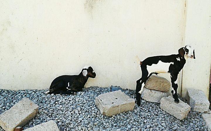 Couple of goat - Shilpaya