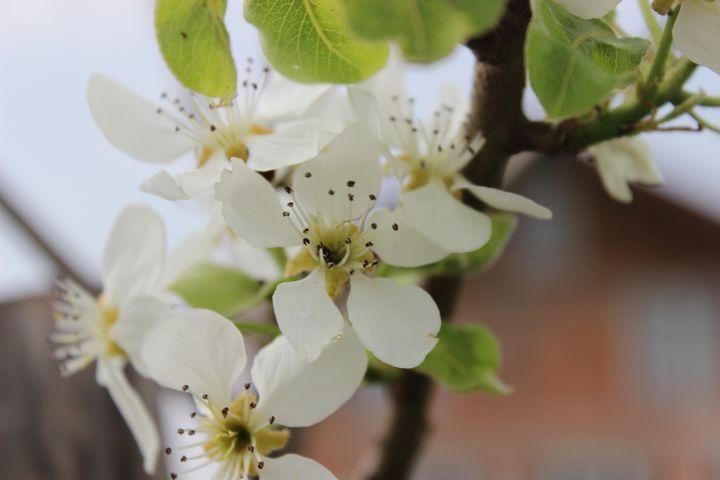 Apple blossoms - Raluca Pintea
