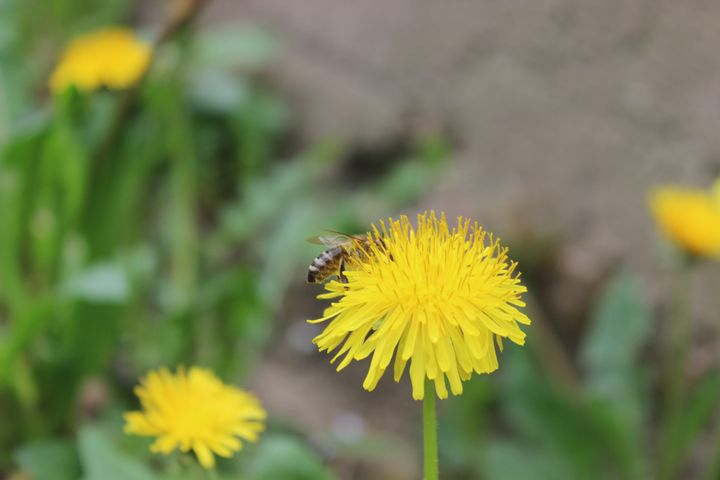 Bumblebee on a dandelion - Raluca Pintea