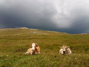 Two friendly cows