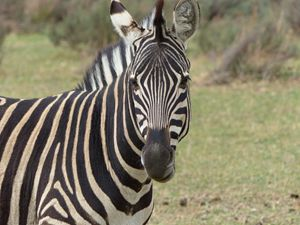 zebra - avuc
