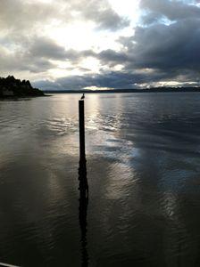 Shilshole Bay Cormorant