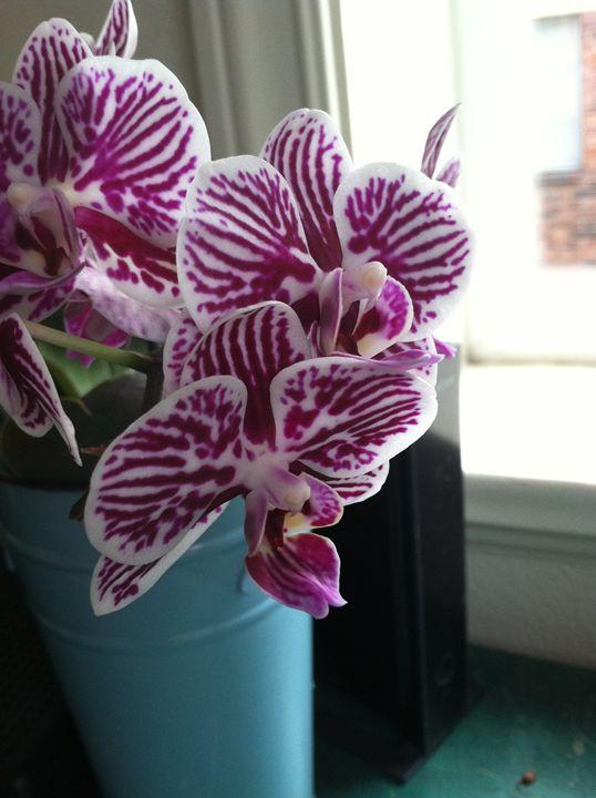 Orchids - Jaci Kajfas