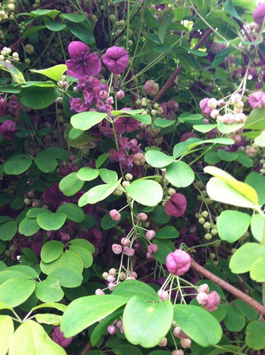 Bashful Purple flowers - Jaci Kajfas