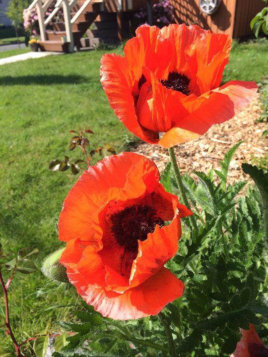 Poppies - Jaci Kajfas