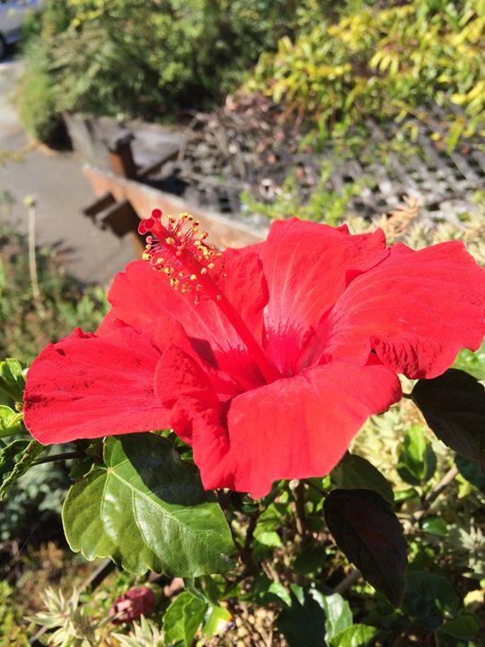 Hibiscus - Jaci Kajfas