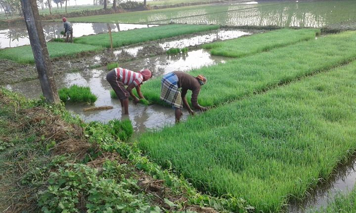 Rice Cultivation - art show