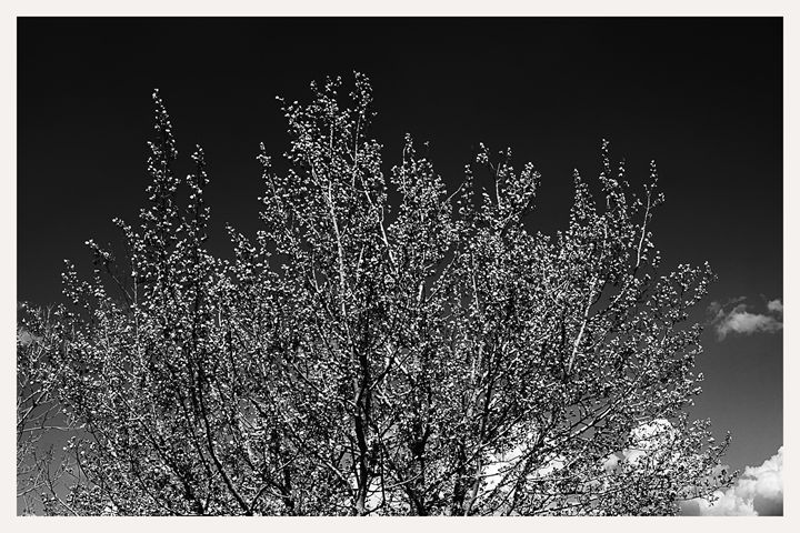 aspen seedling crown - Mark Goebel Photo Gallery