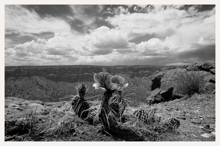 cactus flower cebolla mesa rio grand - Mark Goebel Photo Gallery
