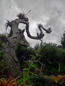 Kula tree