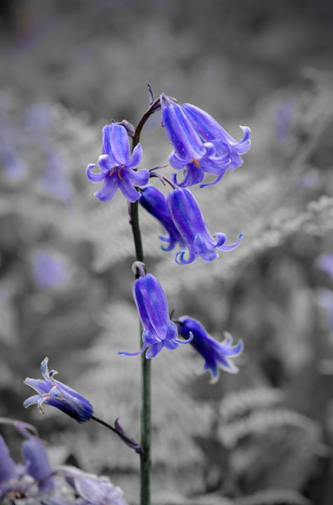 English Bluebell - Jez