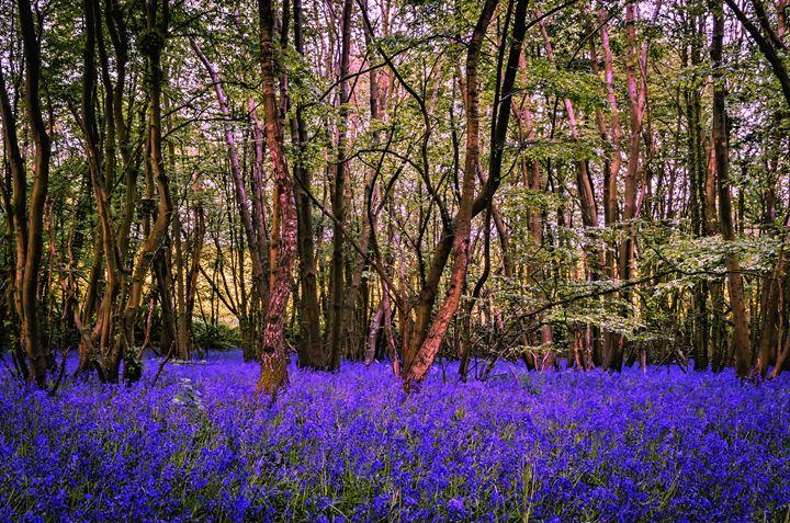 Kent Bluebell woods - Jez