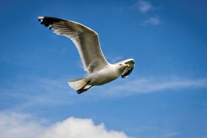 Gull - Jez