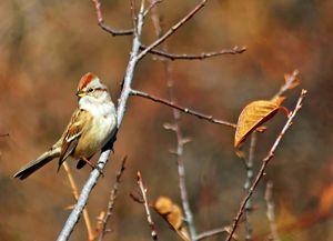 Tree Sparrow - Mike Ross Original Oils