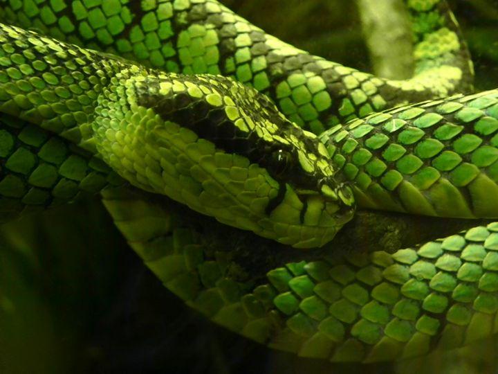 Green Viper - J&J Photography