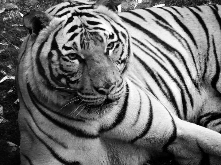 Siberian Tiger B&W - J&J Photography
