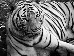 Siberian Tiger B&W