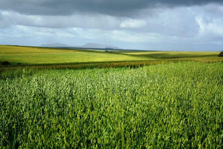 Dark clouds over oat field - Hibiscus