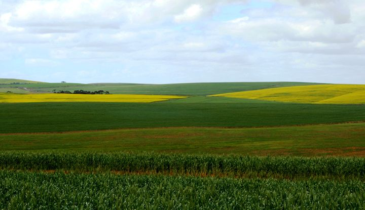 Wheat, canola and clouds - Hibiscus