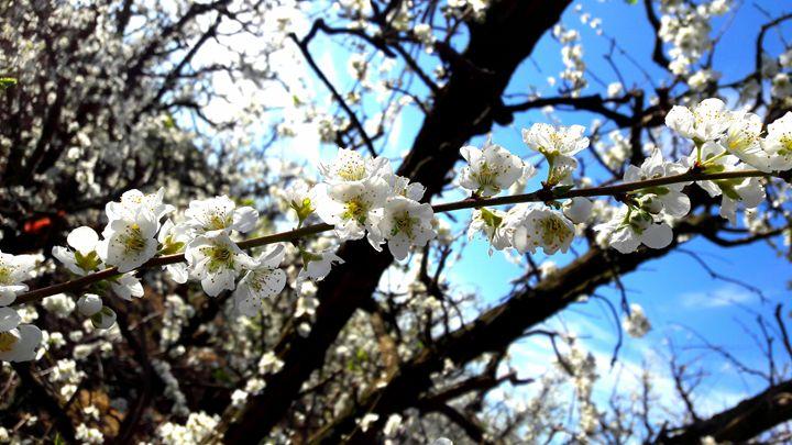 Blossoms - Hibiscus