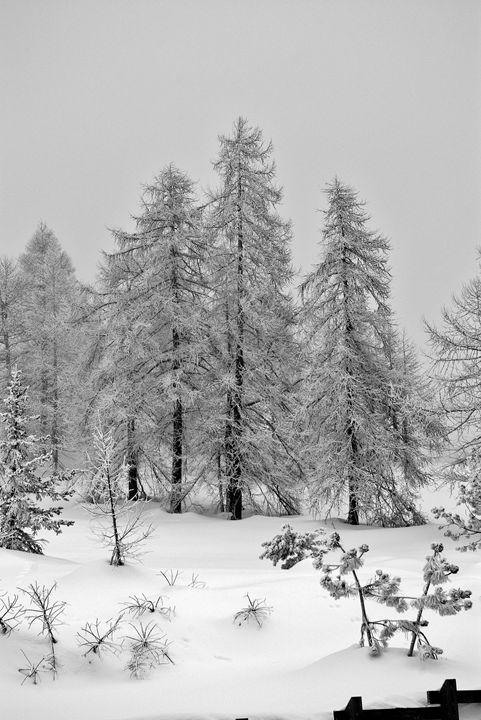 Black and white trees - Pluffys portfolio