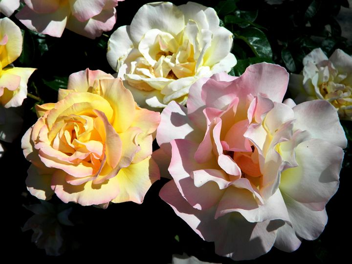 Roses - Markell Smith Gallery
