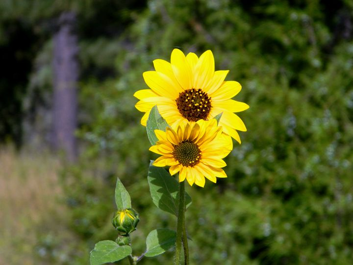 SunFlower in the Field - Markell Smith Gallery
