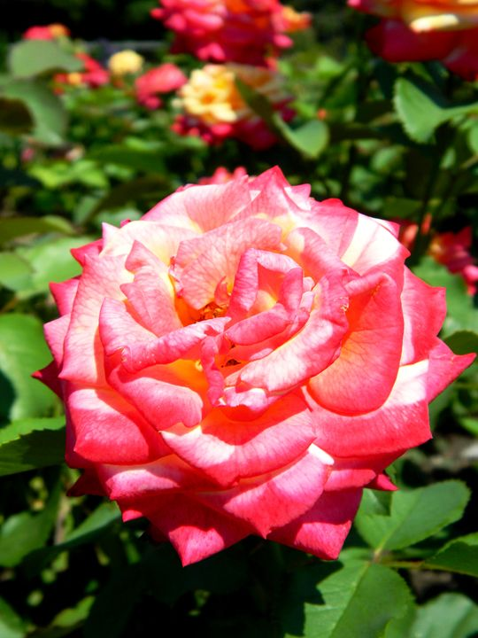 The Pink Rose - Markell Smith Gallery