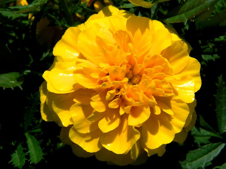 The Yellow Garden Flower - Markell Smith Gallery