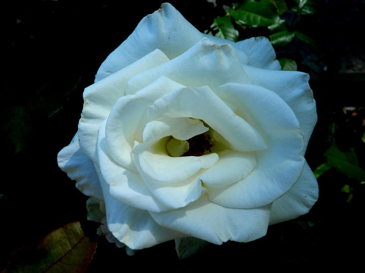 White Rose - Markell Smith Gallery