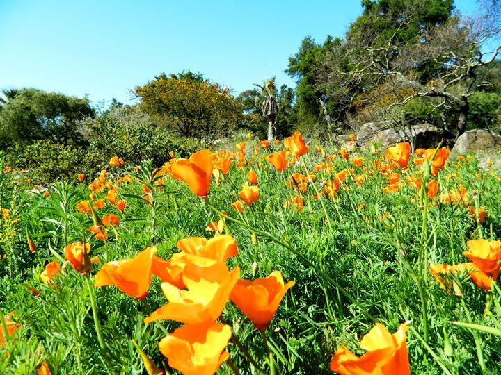The California Poppy Field - Markell Smith Gallery