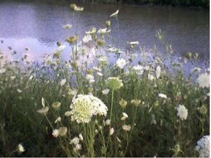 Indiana Prairie Grass - Tempia