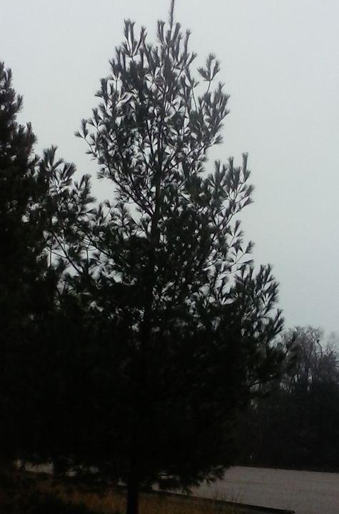 Hoffmaster Pine - Tempia