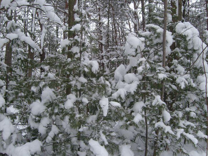 Michigan Pines - Tempia