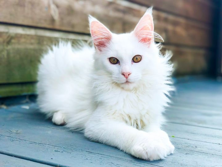 Kimba The White Maine Coon - Toyger
