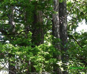 Cypress Five