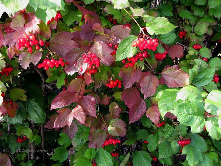 Cranberry 2 - D. Raymond-Wryhte