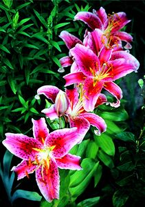 Five Pink Lilies