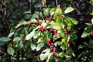 Berries Before Winter 2