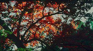 Orange Oak 6